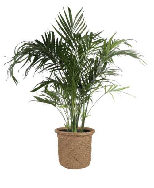 Live Cat Palm Tree in Basket - Wayfair