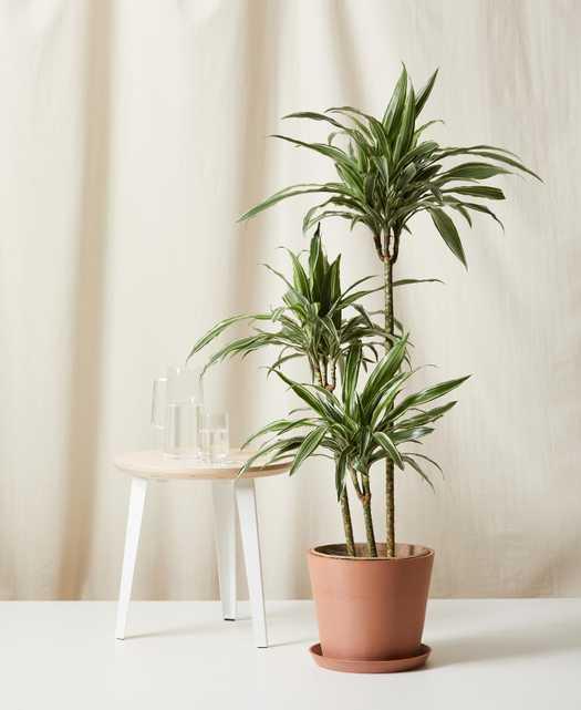 dracaena warneckii - clay - Bloomscape