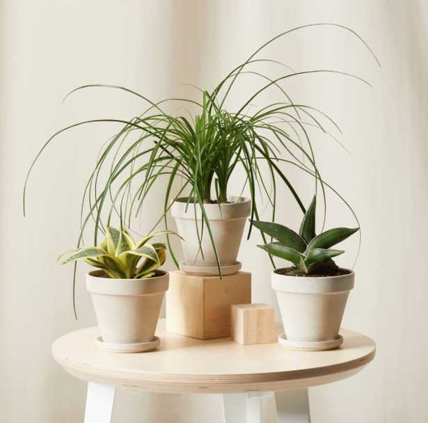Easy Peasy Collection - 3 plants - alabaster - Bloomscape