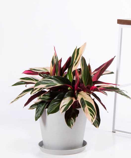 Stromanthe triostar - Stone - Bloomscape