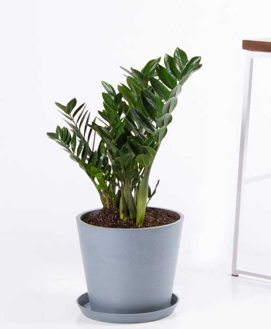 ZZ plant - Slate - Bloomscape