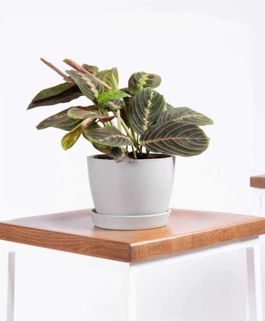Red prayer plant - Stone - Bloomscape