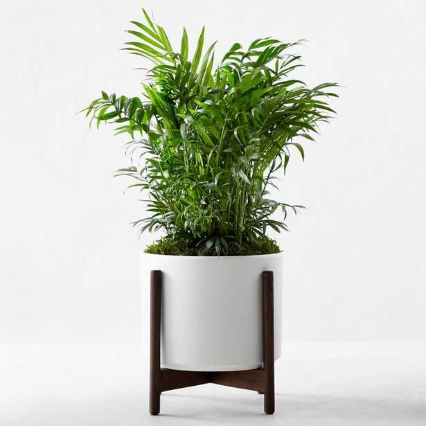 Leon & George Parlor Palm Potted Plant, Small, White - Williams Sonoma