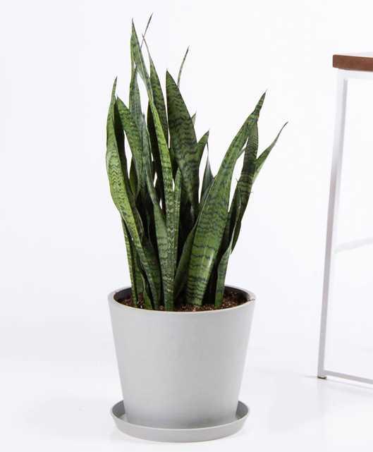 Sansevieria - Stone Pot (live plant) - Bloomscape