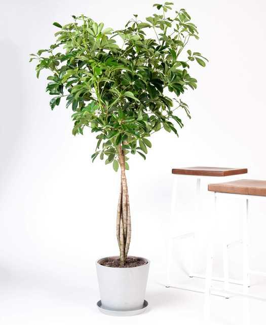 schefflera arboricola - Bloomscape