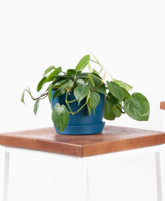 Philodendron Heartleaf - Indigo - Bloomscape