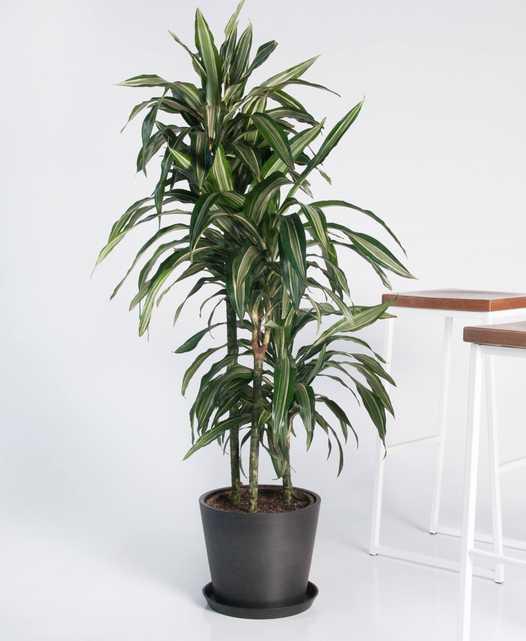 dracaena warneckii - Bloomscape