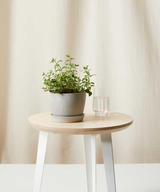 Mint - Bloomscape