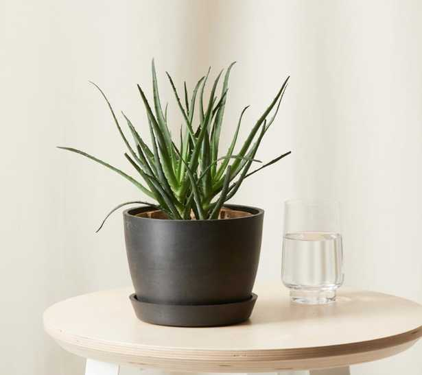 Hedgehog Aloe - Charcoal - Bloomscape