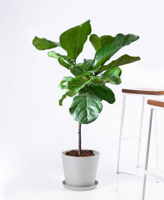 Fiddle Leaf Fig, Stone Pot - Bloomscape