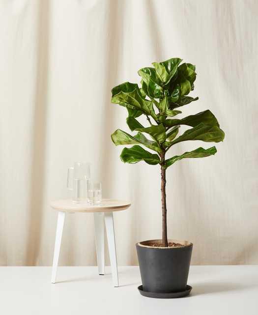 Fiddle Leaf Fig, charcoal pot - Bloomscape
