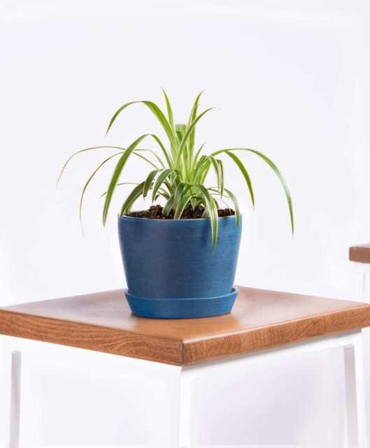Spider plant - Indigo - Bloomscape