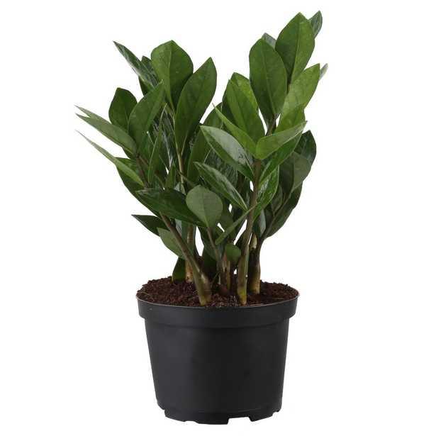 ZZ Plant in 6 in. Pot - Home Depot
