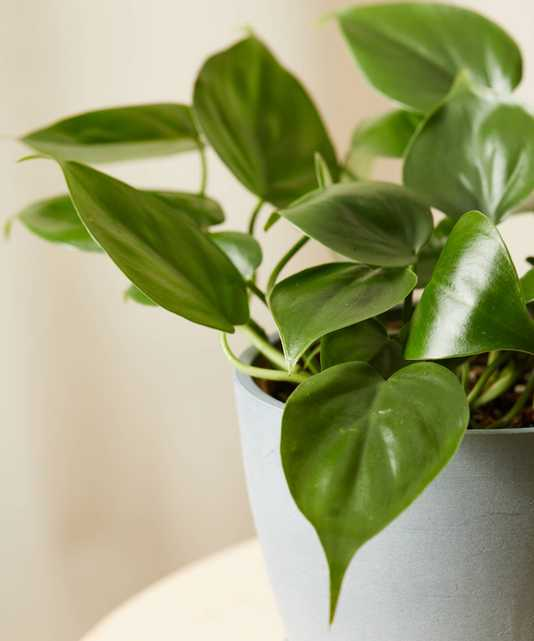 Philodendron Heartleaf- stone - Bloomscape