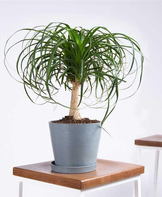 Ponytail Palm - Slate - Bloomscape