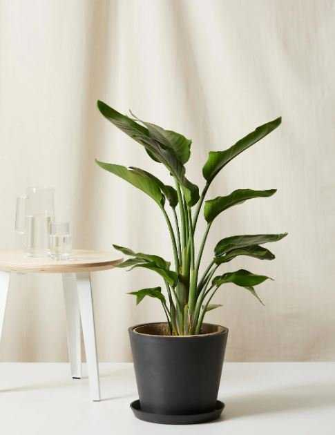 Bird of Paradise - Extra Large - - Bloomscape