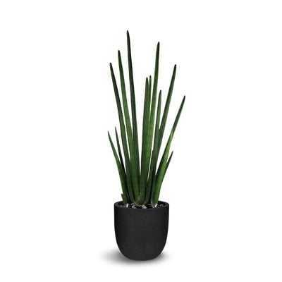 Floor Sansevieria Cylindrica Plant in Pot - Wayfair