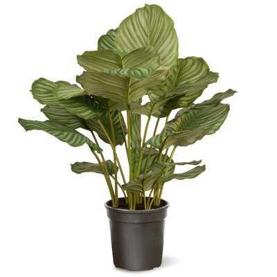Calathea Floor Foliage Plant in Pot - Wayfair