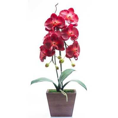 Burgundy Phalaenopsis Flowering Plant in Planter - Wayfair