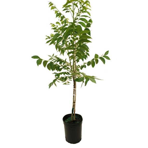 Plant Me Green Pawnee Pecan Tree - Home Depot