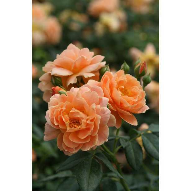 4.5 in. Qt. At Last Rose (Rosa) Live Shrub, Orange Flowers - Home Depot