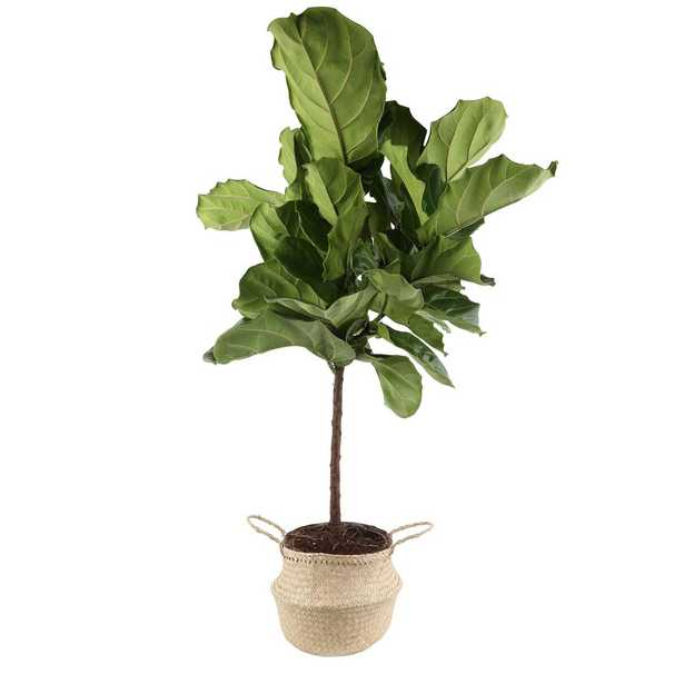 Costa Farms Ficus Lyrata Fiddle-Leaf Fig Standard Tree Floor Plant in 9.25 in. Grower Pot in Seagrass Natural Basket - Home Depot