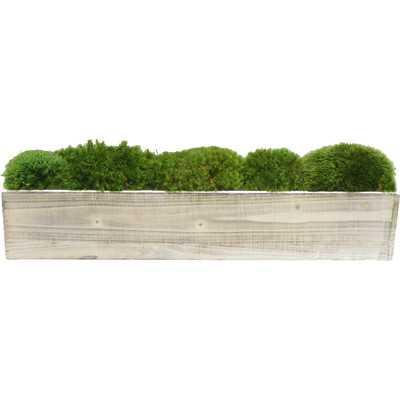 Moss in Planter - Birch Lane