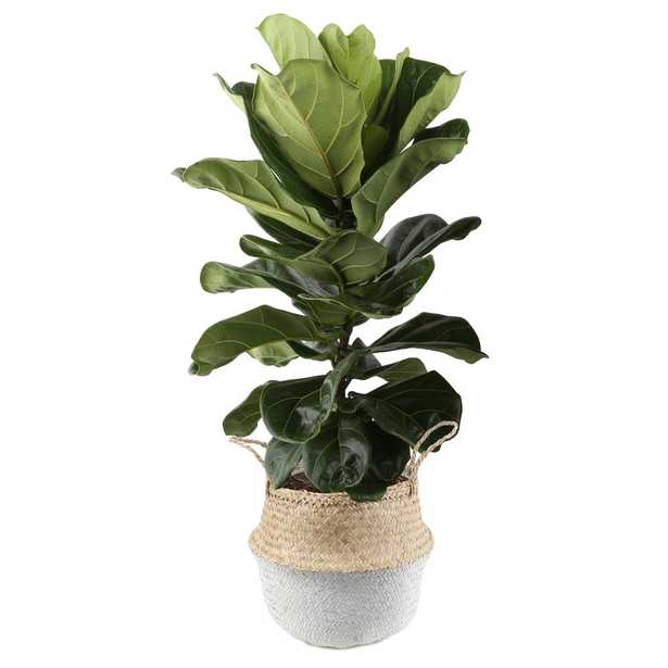 Costa Farms Ficus Lyrata, Fiddle-Leaf Fig Floor Plant in 10 in. Grower Pot in Seagrass White-Natural Basket - Home Depot