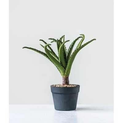 Aloe Plant in Pot - Wayfair