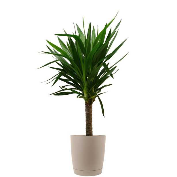 Costa Farms Yucca Cane in 8.75 in. Taupe Decor Pot - Home Depot