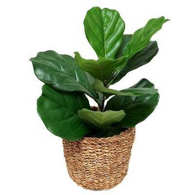Small Fiddle Plant In Basket - Wayfair