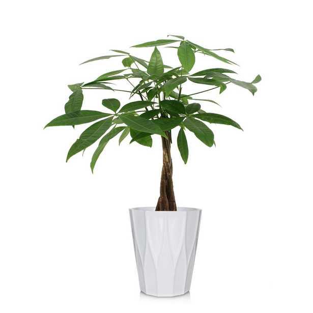 Jai 5 in. Money Tree - Home Depot