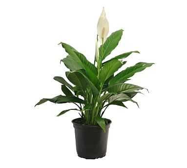 Live Peace Lily Plant - Pottery Barn