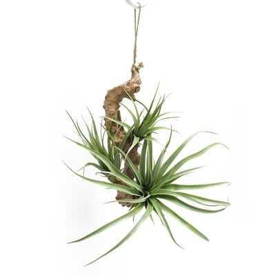 Tillandsia Succulents On Branch Hanging Airplant - Wayfair