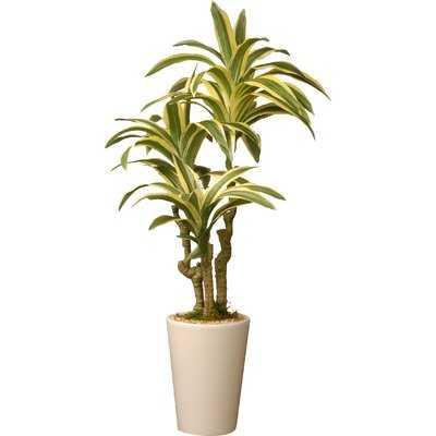 Dracaena Palm Plant in Pot - Wayfair