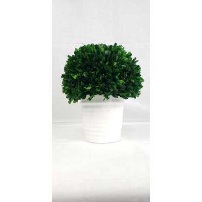 Boxwood Topiary in Pot - Wayfair