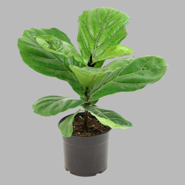 Cottage Farms Direct 5.5 in. Cottage Hill Fiddle Leaf Fig Plant in Pot - Home Depot