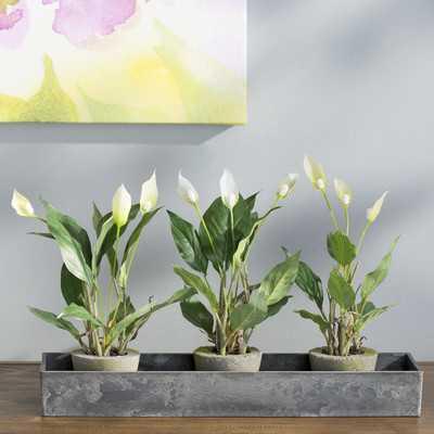 Spathyfillum Desk Top Plant in Pot - Wayfair