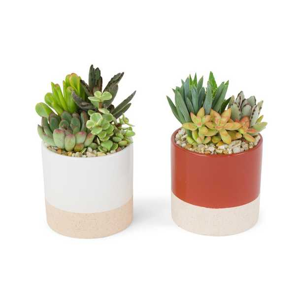 Pure Beauty Farms 4 in. Succulent in Ceramic Combo (2-Plants) - Home Depot