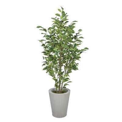 Ficus Tree in Planter - Wayfair