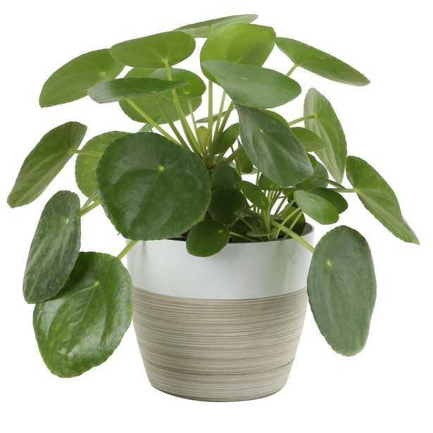 Costa Farms Pilea Peperomiodides Sharing Plant in 6 in. Contemporary Planter - Home Depot