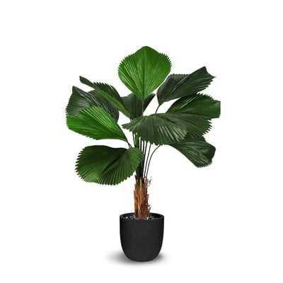 Licuala Grandis Floor Palm Plant in Pot - Wayfair