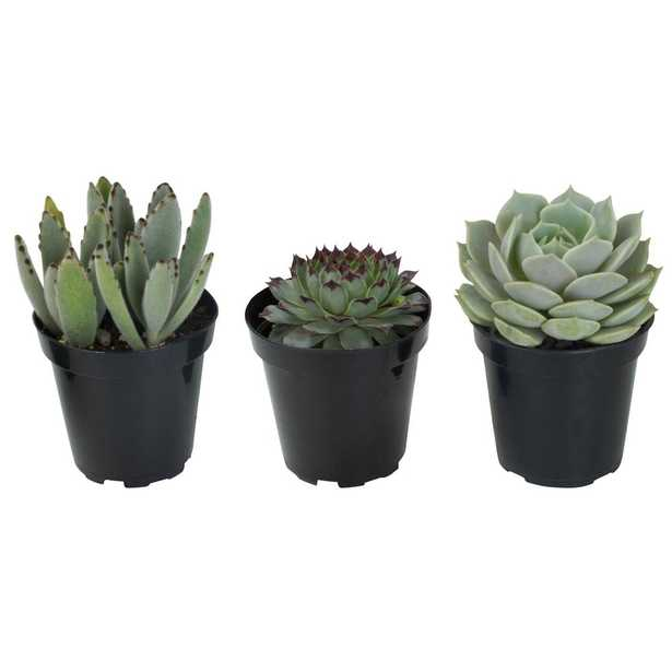 3.5 in. Hint of Silver Succulent Collection (3-Pack) - Home Depot