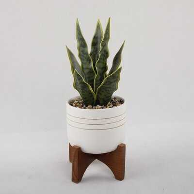 Snake Plant in Pot with Wooden Stand - Wayfair