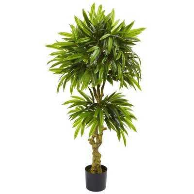 Slim Mango Ficus Plant - Wayfair