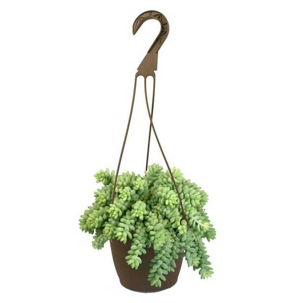 6 in. Assorted Donkey Tails Hanging Basket Plant - Home Depot
