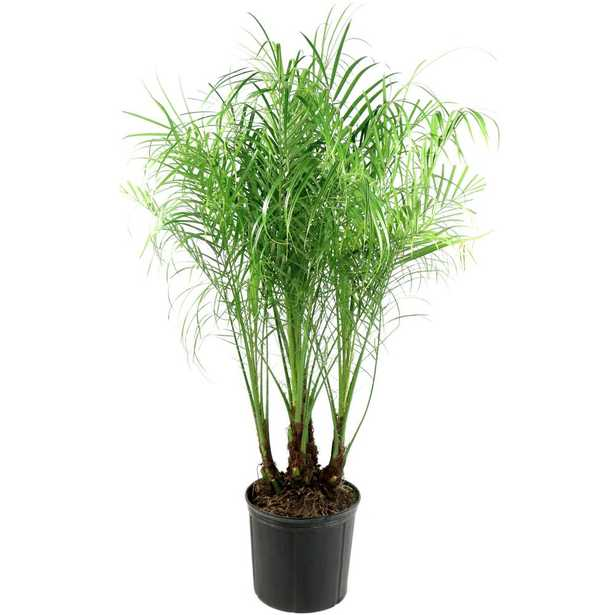 National Plant Network 2 Gal. Robellini Palm Tree - Home Depot