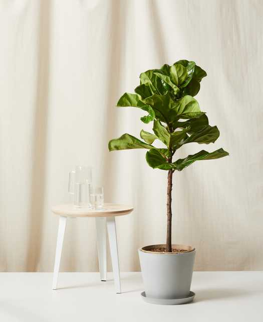 Philodendron Heartleaf, Stone Pot - Bloomscape