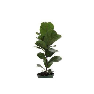 """23"""" Live Fiddle Leaf Fig Plant - Wayfair"""