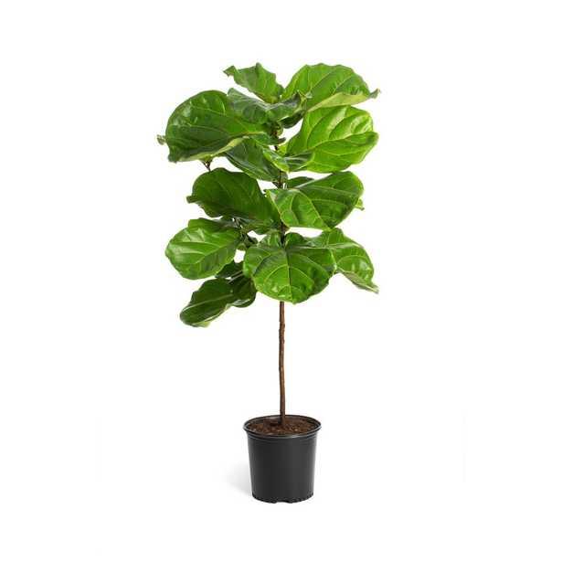 Brighter Blooms 3 Gal. Fiddle-Leaf Fig Tree - Home Depot